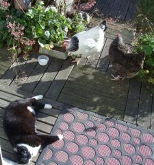 le chat schumi et les poules de Marolles image
