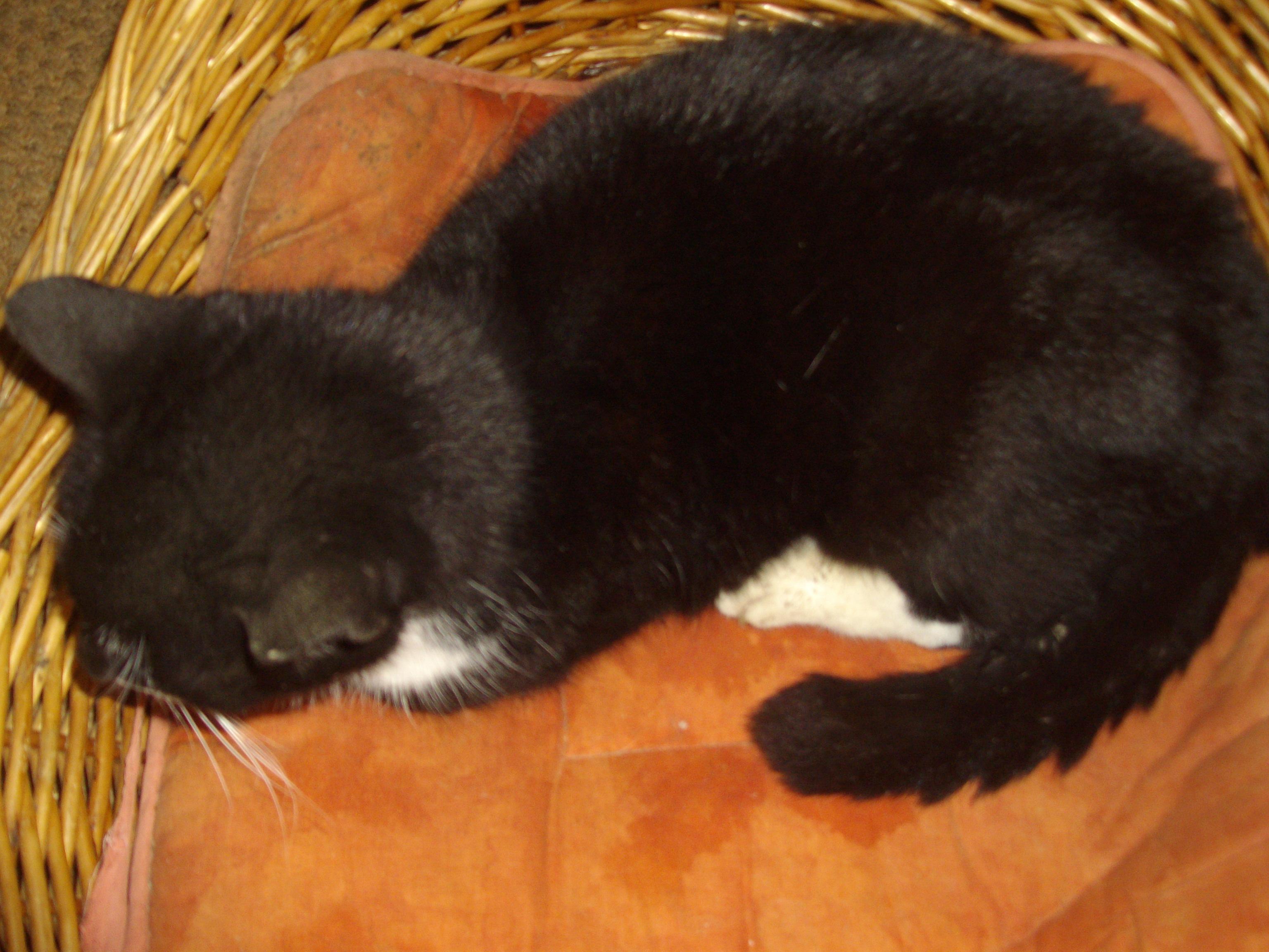 noir chatte noir coqs